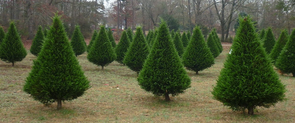 Christmas Tree Farm Arizona.Washivore Discover Washington Agriculture Christmas Tree